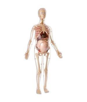 Научный игровой набор Edu-Toys Скелет будущей матери